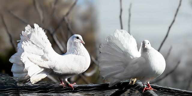 pigeons-1355123_640